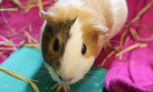 Sanctuary and pet store join forces to help guinea pigs